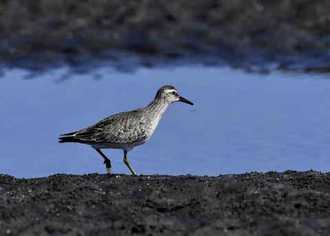 コオバシギ幼鳥0203