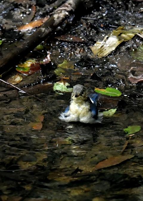 コルリ♂幼鳥4090