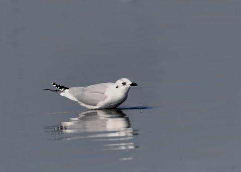 ズグロカモメ冬羽5091
