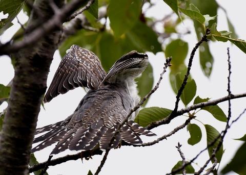 ツツドリ幼鳥5509