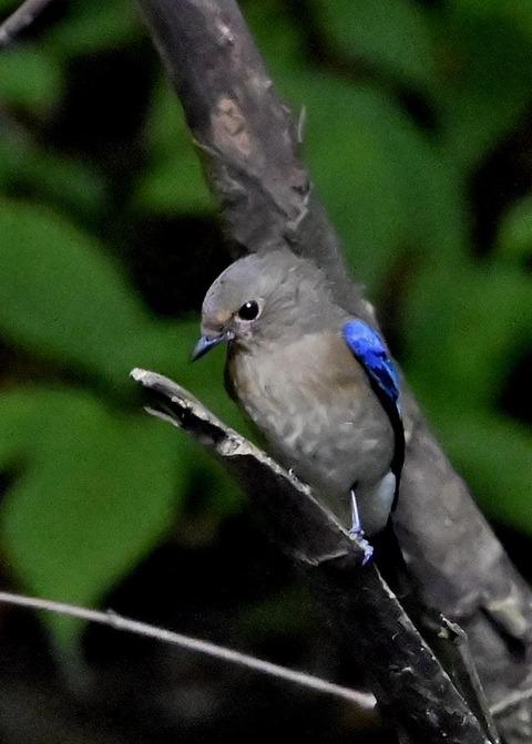 オオルリ幼鳥①6447