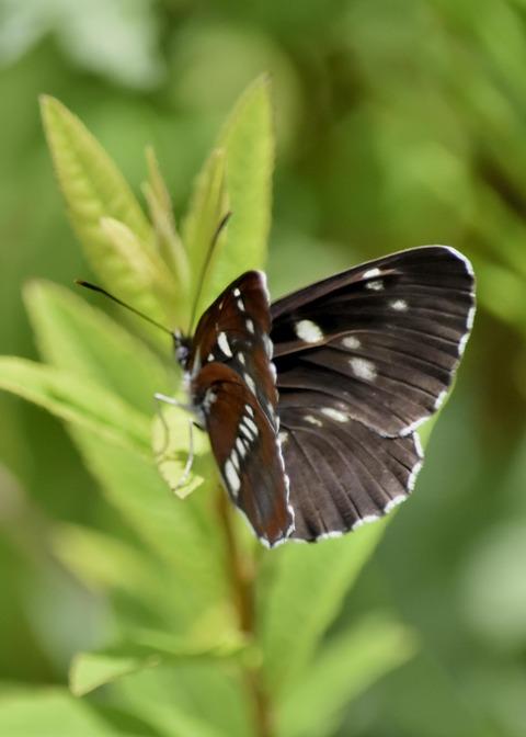 フタスジチョウ黒化型1073