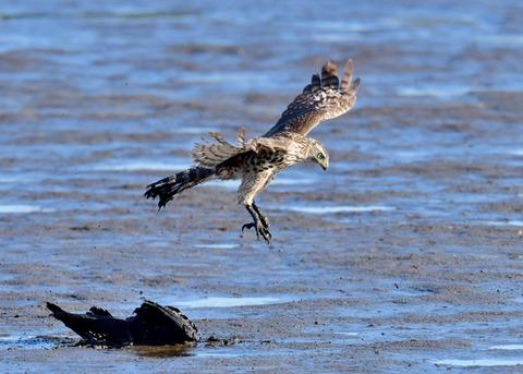 オオタカ若鳥0792