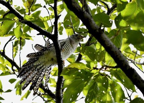 ツツドリ幼鳥5682