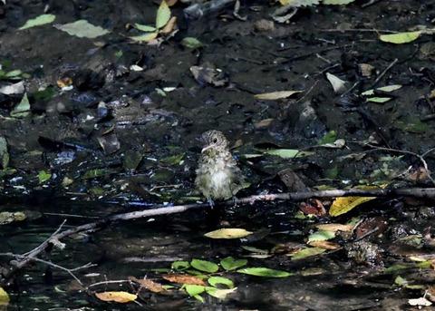 オオルリ幼鳥♂8073-01