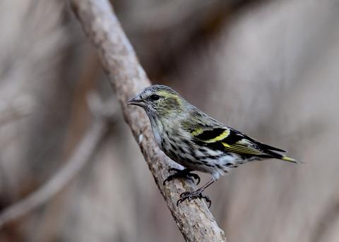 マヒワ若鳥3282
