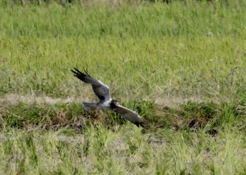 大陸型チュウヒ♂5981