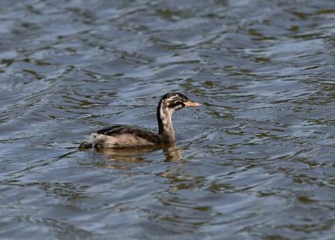 カイツブリ幼鳥0298