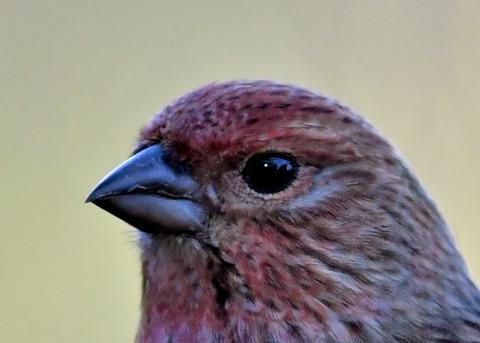 オオマシコ若鳥1603