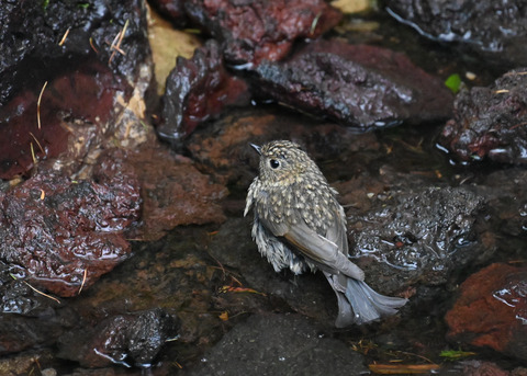 ルリビタキ幼鳥8334