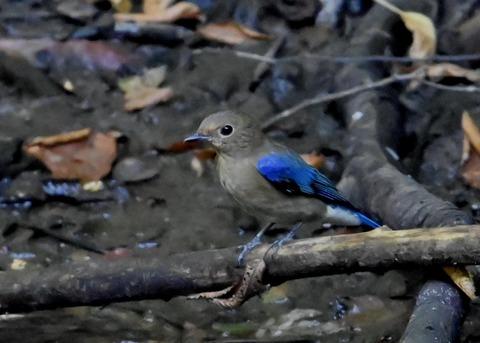 オオルリ幼鳥①6353