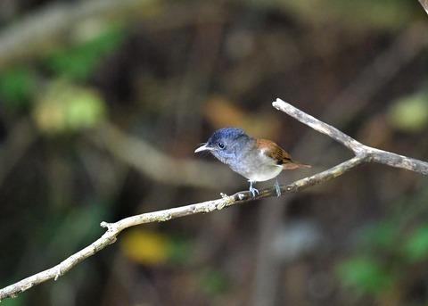 サンコウチョウ幼鳥5589