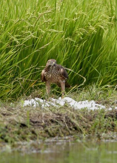 オオタカ若鳥2858