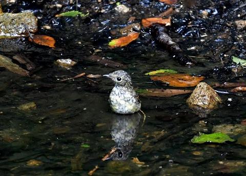 キビタキ幼鳥0787