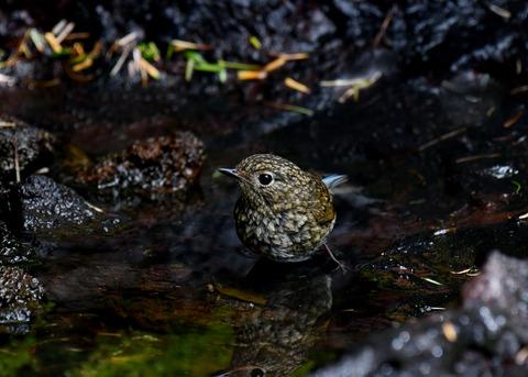 ルリビタキ幼鳥3062