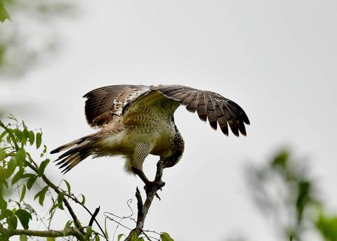 カンムリワシ若鳥6543