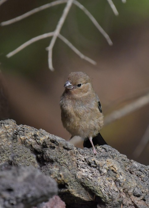 ウソ幼鳥8451