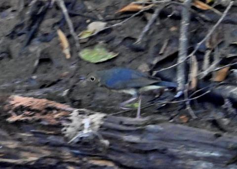 コルリ♂幼鳥2572