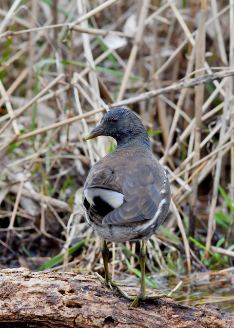 バン若鳥5859
