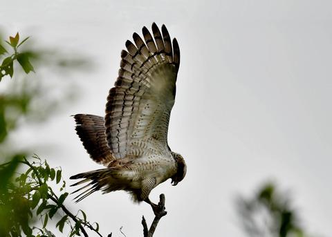 カンムリワシ若鳥6529