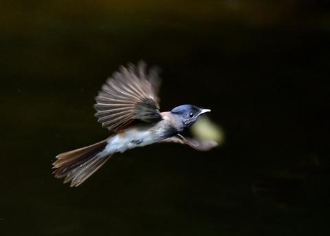 サンコウチョウ幼鳥0030
