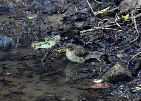 キビタキ幼鳥7526