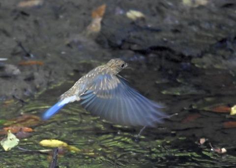 オオルリ♂幼鳥4370