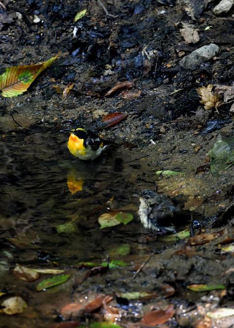キビタキ♂と幼鳥3463