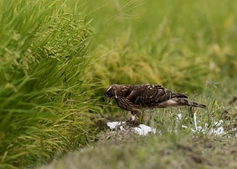 オオタカ若鳥3240