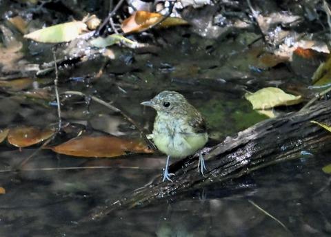 キビタキ幼鳥3411