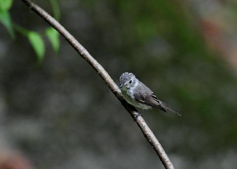 コサメビタキ幼鳥0239