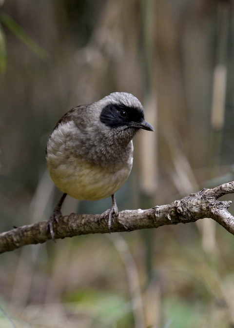 カオグロガビチョウ・若鳥・6078