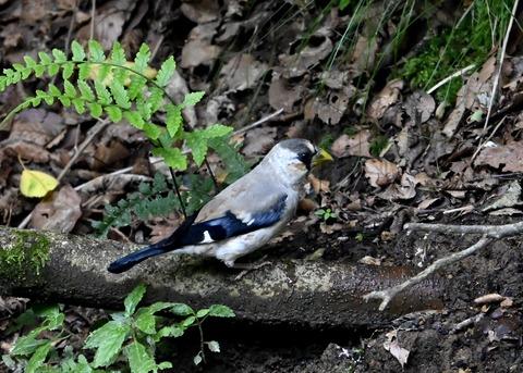イカル幼鳥1213