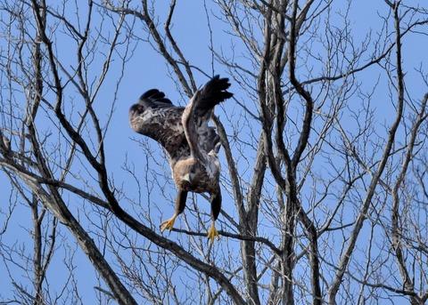 オジロワシ若鳥0027