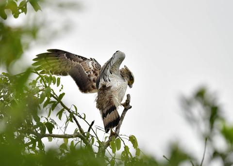 カンムリワシ若鳥6526