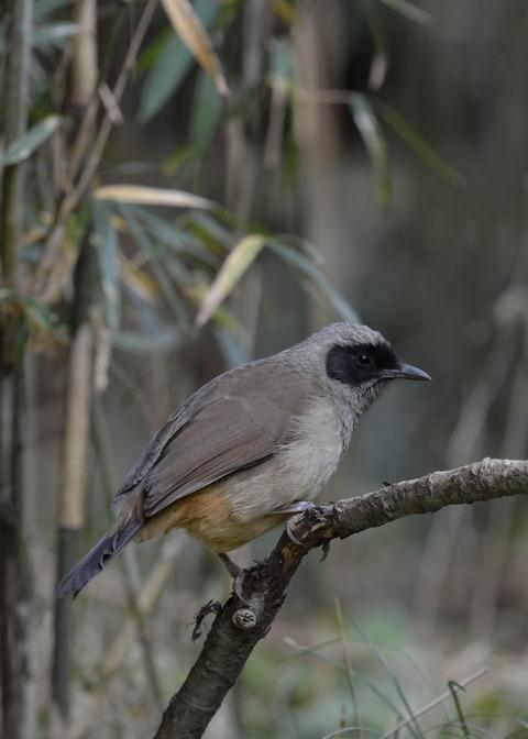 カオグロガビチョウ・若鳥・6161