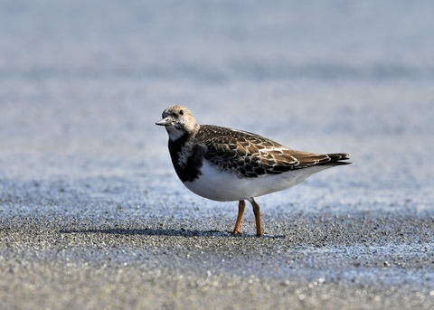キョウジョシギ幼鳥5842