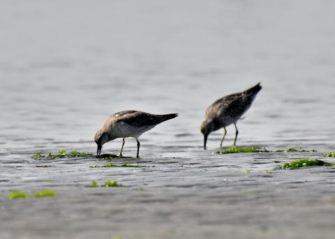 コオバシギ幼鳥4250