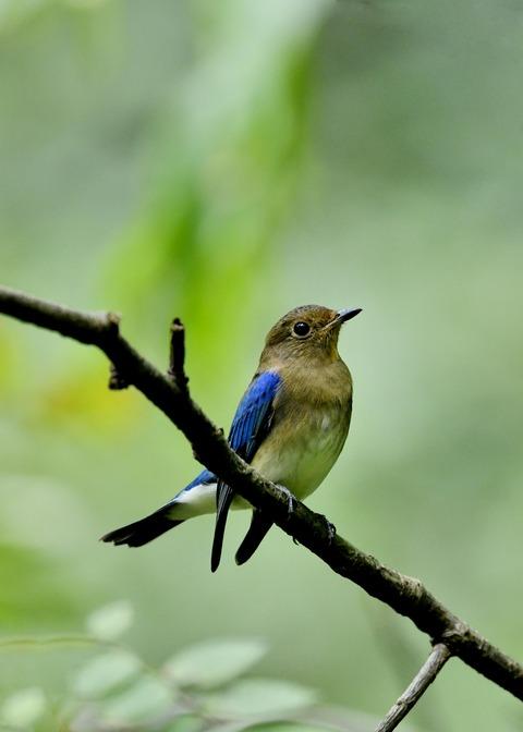 オオルリ♂若鳥0457