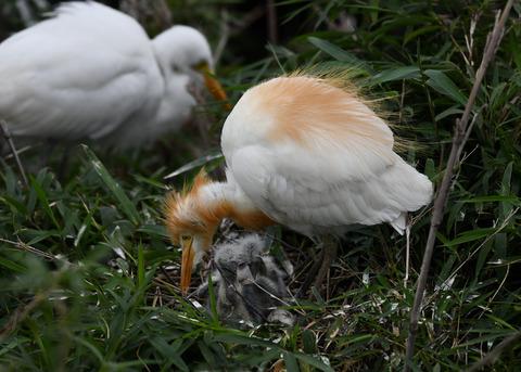 アマサギ(雛2・卵1)4015