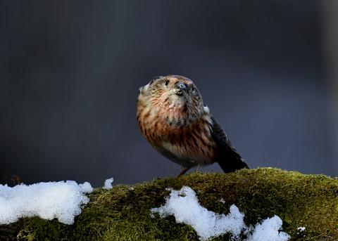 オオマシコ若鳥9586