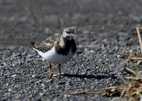 キョウジョシギ幼鳥5787