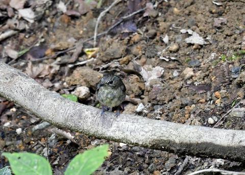 キビタキ幼鳥0273