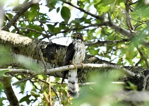 ジュウイチ幼鳥2914