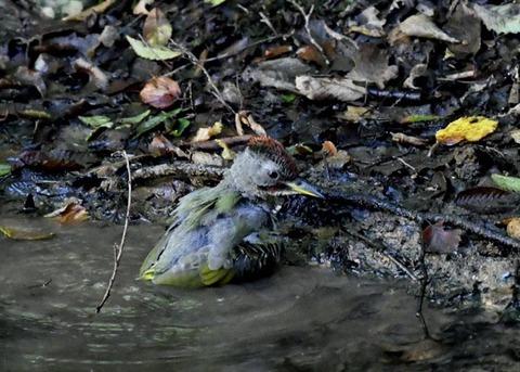 アオゲラ幼鳥♂8591