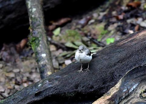 キセキレイ幼鳥8152