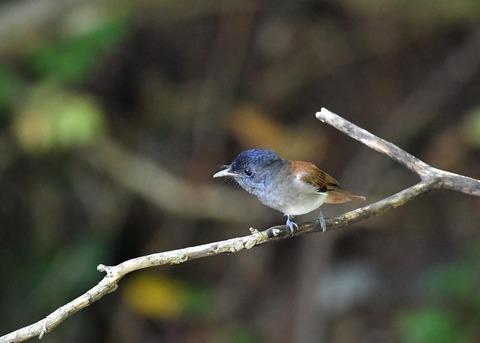 サンコウチョウ幼鳥5591