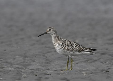 オバシギ幼鳥4484