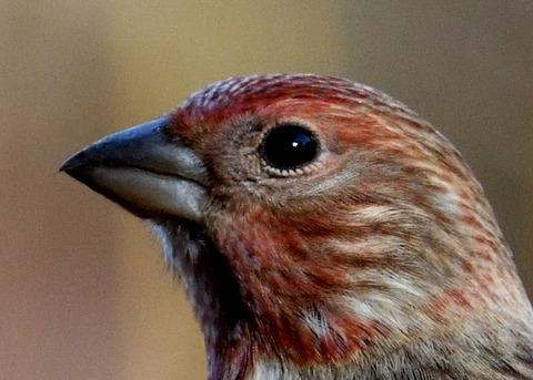 オオマシコ若鳥0805