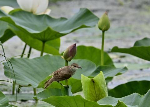 オオヨシキリ幼鳥8542